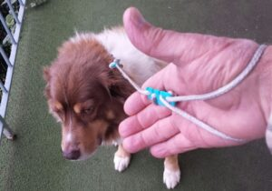 Lace Latch in use on a dog leash